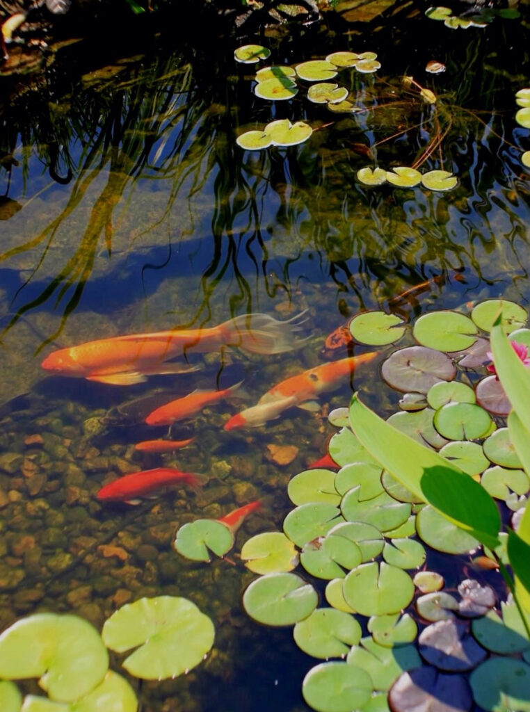 Koi ponds installed by Bauer Falls